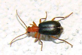 escarabajo bombardero b explodens