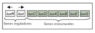 Se han hallado en el genoma de Vibrio fischeri ocho genes encargados de codificar las proteínas necesarias para que la bacteria pueda realizar la reacción de luminiscencia. Estos genes se organizan en dos operones. (Un operón es un conjunto de genes bacterianos que contribuyen a una misma función, ubicados muy cerca unos de otros y cuya expresión se gobierna de manera coordinada.) Uno de los operones tiene siete genes, todos ellos llamados lux pero distinguidos por letras que se agregan a este nombre: luxA, luxB, luxC, etc. Cuando nos referimos a este operón, lo llamamos luxICDABEG, para indicar el orden que guardan los siete genes en él. Los genes luxA y lux B codifican las subunidades α y β de la luciferasa; luxI codifica una proteína de 193 aminoácidos que cataliza la síntesis de la acil homoserina lactona (AHL). Los genes luxC, luxD y luxE codifican las enzimas que toman parte en la formación del aldehído de cadena larga. Por lo que toca a luxG, parece que ayuda a mejorar la capacidad de la bacteria de sintetizar flavín nucleótido. El otro operón, formado por un solo gen, luxR, codifica la proteína LuxR, que se acopla a la AHL y activa la expresión del operón luxICDABEG.