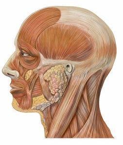 Cabeza humana, por Patrick J. Lynch